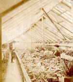 Early 1900s interior view of Binleys greenhouses